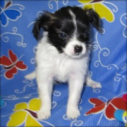 Papillon Puppies Now Available.