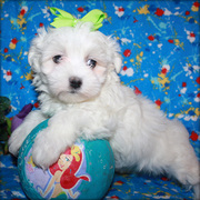 Maltese Puppies Now Available.