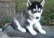 SIBERIAN HUSKY PUPPIES FOR GOOD HOMES