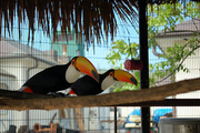 Pair Toco Toucan birds for sale