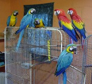 we sell,  macaws,  cockatoos, Greys, Amazons,  and fertile eggs
