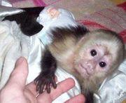 intelligent capuchin monkey for a good home