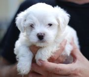 Snow white Maltese Puppies Available for Adoption