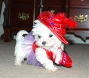 Maltese Puppies For Adoption(johnny.carson89@yahoo.com)
