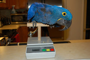 DNA Tested Pair Of Hyacinth Macaw Parrots For Xmass