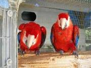 Scarlet Macaw Parrots For Good Home